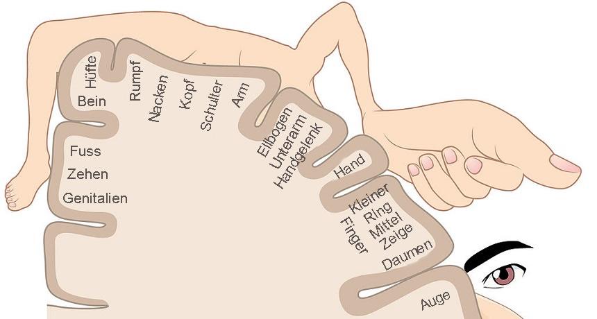Sinnesorgane sensorischer Homunculus - re Gehirnhälfte